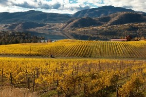 Fall vineyards in Okanagan Falls