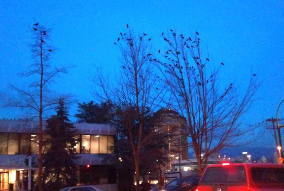 More Crows in trees in Burnaby