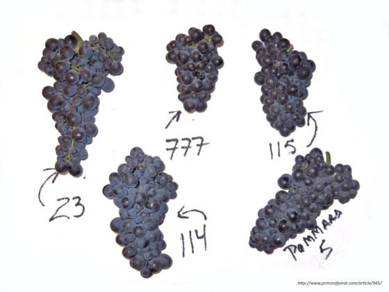 A selection of Pinot Noir clones (Image courtesy www.princeofpinot.com)