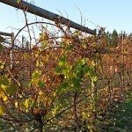 Grape vines at harvest in BC 2017