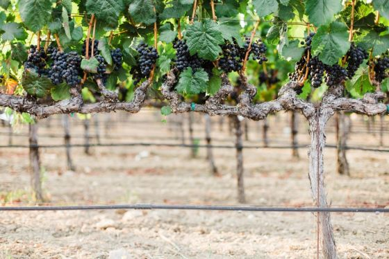 Napa Valley grape Harvest photo courtesy SarahAnne