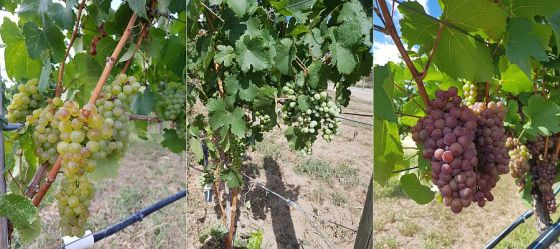 Harper's Trail Riesling, Cabernet Franc, and Pinot Gris grapes at the end of August 2019 on the vine