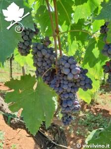 Cesanese grapes (Image courtesy viviilvino.it)