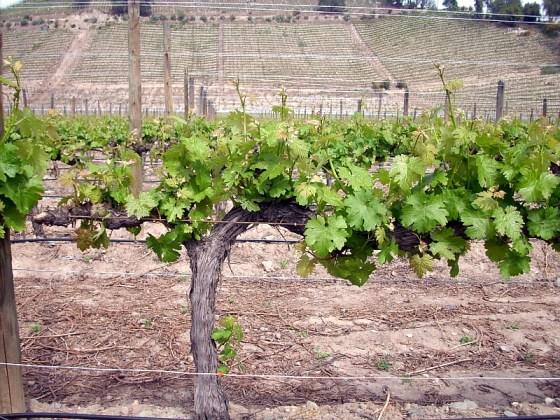 The vines in the Spring at Vina Errazuriz