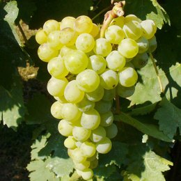 Grillo grapes (Image courtesy https://www.pomiliacalamiavini.it)