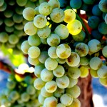 Semillon wine grapes (By Alison Parks-Whitfield - originally posted to Flickr as SemillonBlancBunch5, CC BY 2.0, https://commons.wikimedia.org/w/index.php?curid=9956045)