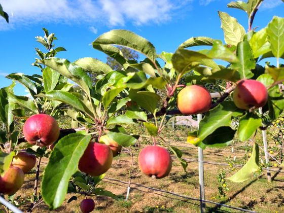 Apples ripening for Brickers cider