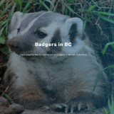 Badgers in BC
