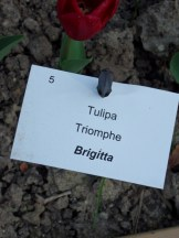 Tulipe-Mania (119)