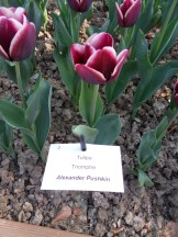 Tulipe-Mania (12)