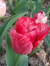 Tulipe-Mania (121)