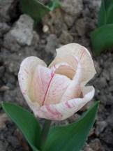 Tulipe-Mania (125)