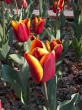 Tulipe-Mania (145)