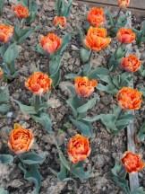 Tulipe-Mania (167)