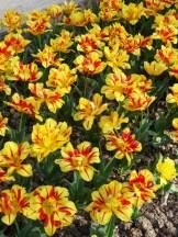 Tulipe-Mania (175)