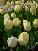 Tulipe-Mania (189)