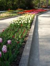 Tulipe-Mania (196)