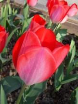 Tulipe-Mania (200)