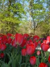 Tulipe-Mania (201)