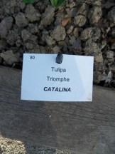 Tulipe-Mania (220)