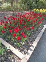 Tulipe-Mania (44)