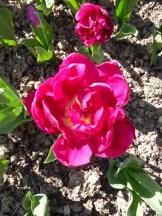 Tulipe-Mania (51)