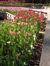 Tulipe-Mania (63)