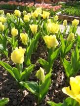 Tulipe-Mania (72)