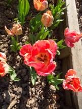 Tulipe-Mania (74)