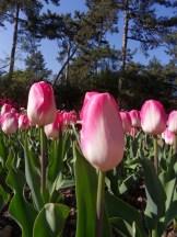 Tulipe-Mania (81)