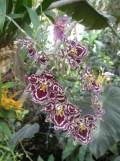 1001 Orchidées .. (17)