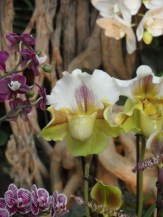 1001 Orchidées .. (31)