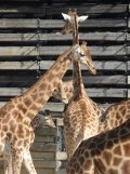 Zoo de Vincennes (211)