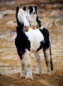 dog horse3
