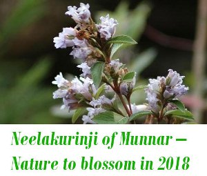 Neelakurinji of Munnar 2018