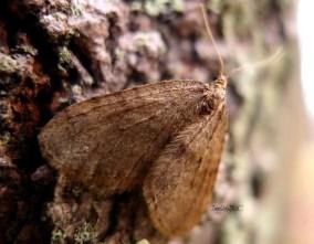 Furry Moth, Coarse Bark