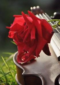 Violin and roses