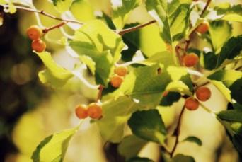 Yellow berries2