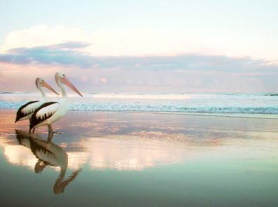 Pelicans - Phillip Island