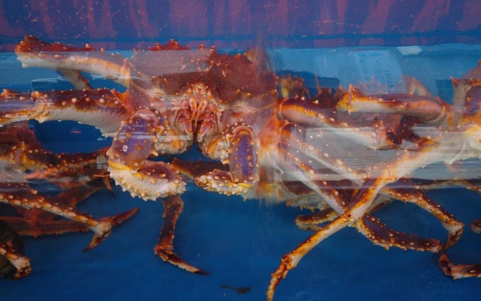 Königskrabbe, King Crab, Stalinkrabbe