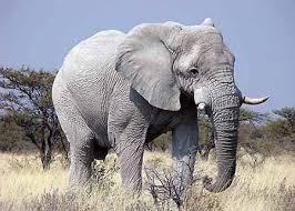 THE WHITE ELEPHANT 1
