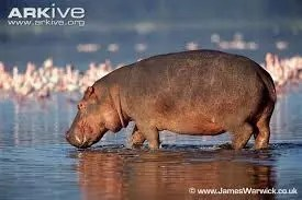 WHY THE HIPPOPOTAMUS LIVES IN THE WATER 1