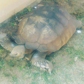 MEET ALAGBA: KING SOUN OF OGBOMOSO'S WORLD OLDEST TORTOISE (IJAPA) 5