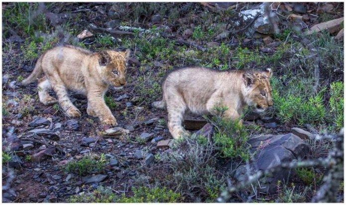 Sylvester's Cubs