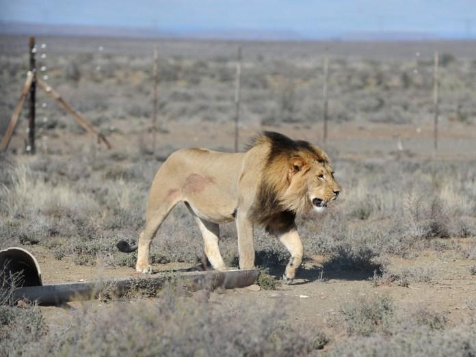 Sylvester the Lion