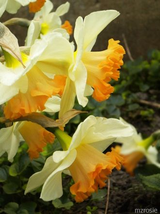 Daffodil – Cream petals with orange trumpet