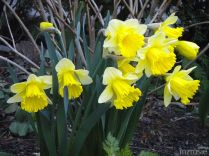 Daffodil – Cream petals with yellow trumpet