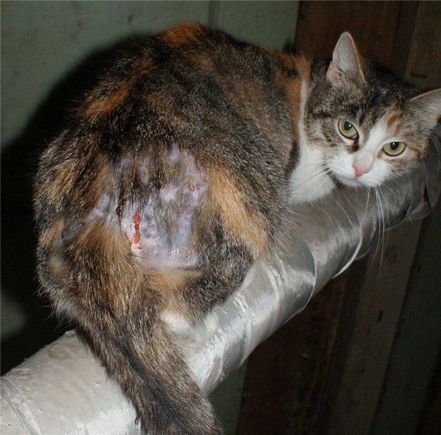 Сильно гноится рана у кота чем лечить. Правильные действия владельца или чем обработать рану коту после драк, ранений