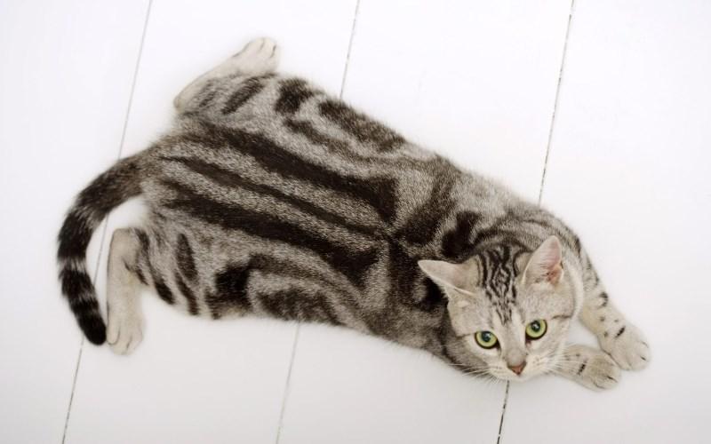 Дисплазия суставов тазобедренных локтевых запястных у кошек