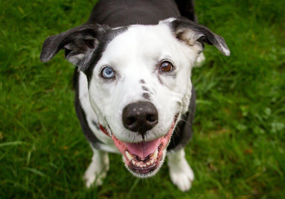 كلب ذو عينين مختلفتين